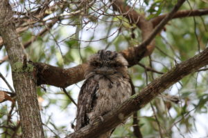 Tawny frogmouth owl sustainable housing taylor'd
