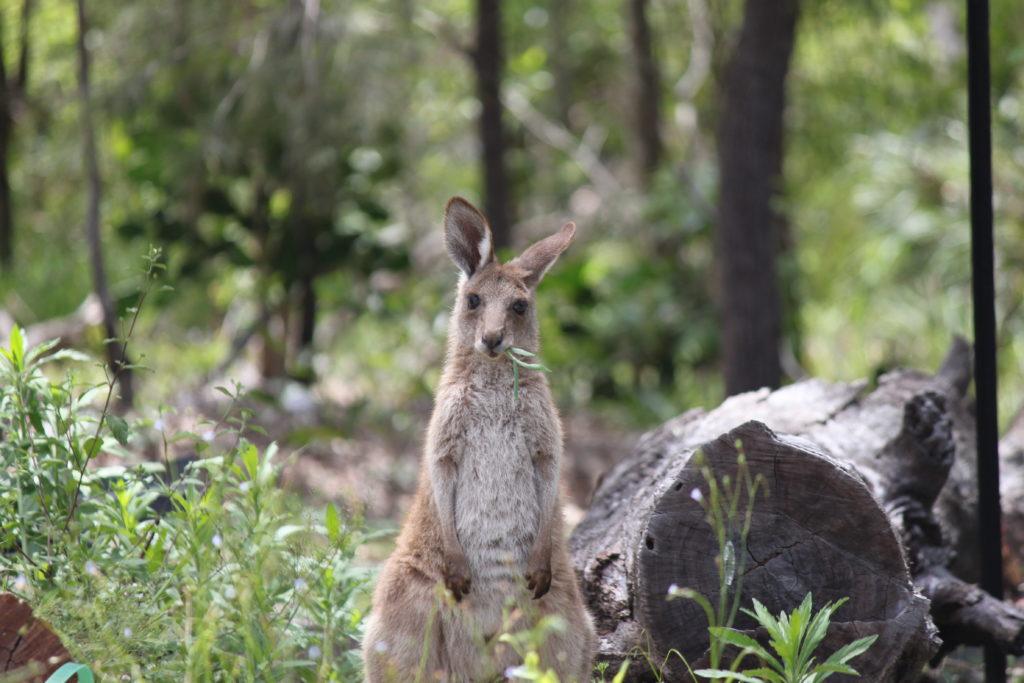 kangaroo taylor'd